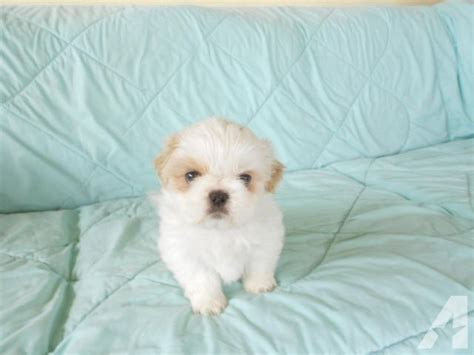 shih tzu puppies springfield mo shih tzu puppies and dogs for sale and adoption in missouri breeds picture