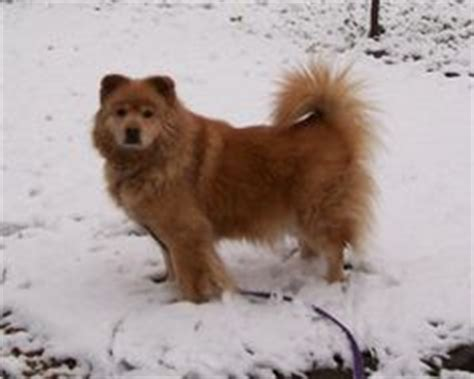 golden retriever chow mix lifespan chow chow golden retriever mix actually not for this type of coat to be
