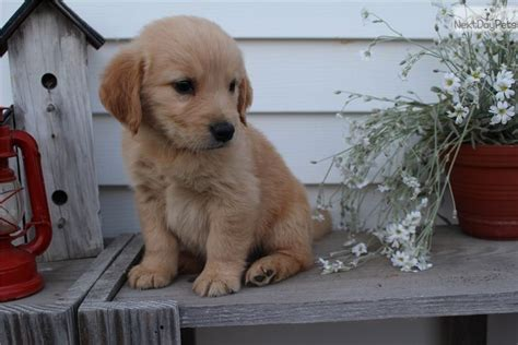 golden retriever puppies for sale in canton ohio 22 best images about pomeranians on