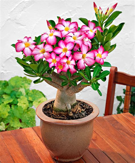 Bunga Adenium Obesum Corona achetez maintenant une plante d int 233 rieur du d 233 sert bakker