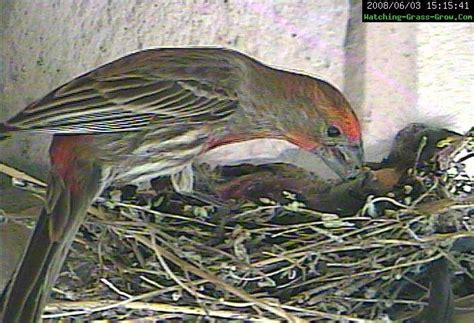 live camera house live webcam of house finch bird nest complete pdf library