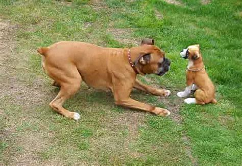 how much are boxer puppies a boxer can never much