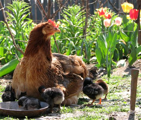 backyard chicken raising raising chickens keeping chickens in your backyard