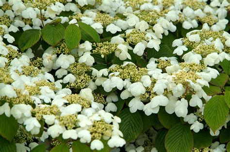 Types Of Garden Flowers - viburnum plicatum f tomentosum mariesii gardenersworld com