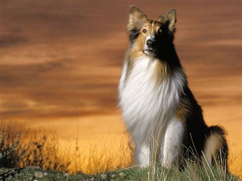 what of is lassie what is lassie pets guide