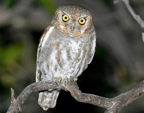 elf owl songs and calls larkwire