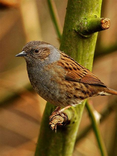 dunnock looks similar to a sparrow but they are