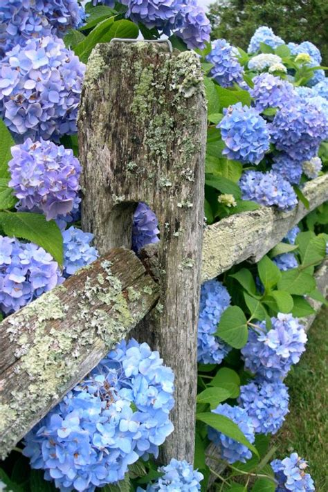 Hortensie Endless Summer The 1999 by Blue Hydrangea 00ff00