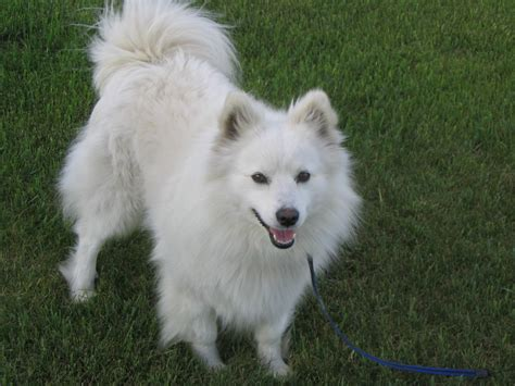 miniature american eskimo puppies welcome to white phantom kennels website