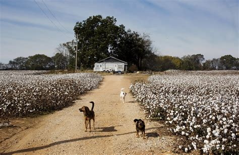 kings tree farm mississippi once king cotton farming on a decline in u s south