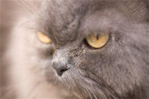 schuppen bei katzen die katze hat schuppen das k 246 nnen sie tun