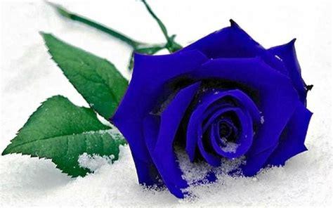 wallpaper mawar biru 14 gambar bunga mawar biru atau blue roses flower yang cantik