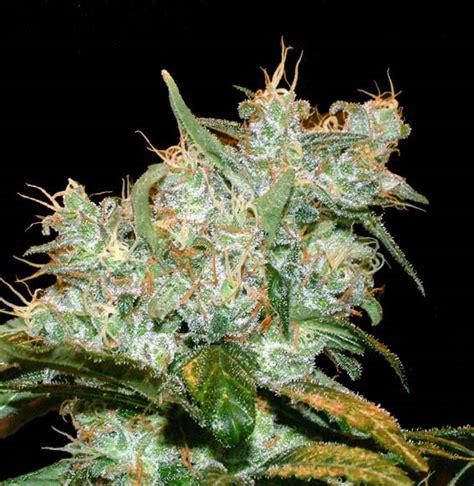 autofloreciente interior goxuak auto semilla de marihuana autofloreciente