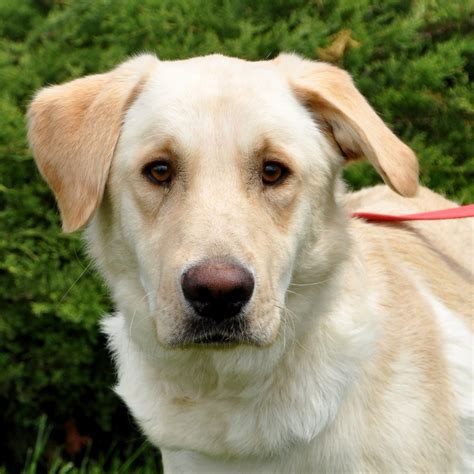 golden retriever and yellow lab mix placing paws quot in the hearts of their forever homes quot