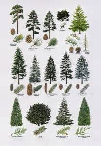 25 best ideas about pine tree on pinterest tiny tree