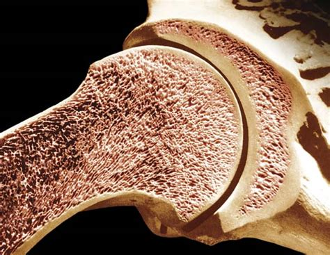 bone marrow section bone marrow anatomy britannica com