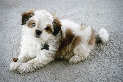 characteristics of a shih tzu maltese shih tzu breed information pictures characteristics facts dogtime