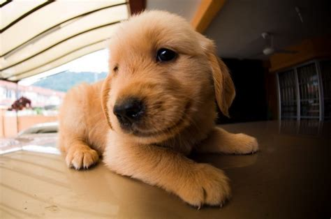 best place to buy golden retriever puppies adopting a golden retriever puppy 7 pics animal s look