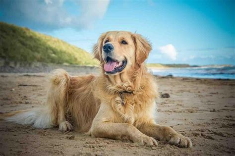 golden retriever wallpaper golden retriever wallpapers android apps on play