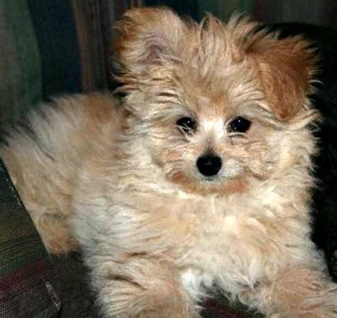 pomeranian poodle lifespan 336 best images about animals dogs and puppies on