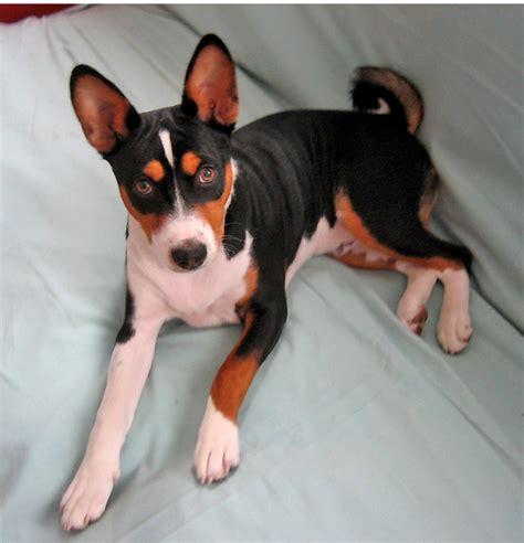 basenji puppy cost basenji puppy mixed png
