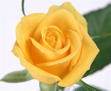 imagenes de rosas hermosas amarillas im 225 genes de flores y plantas rosas
