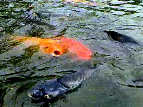 cara membuat umpan ikan mas air hijau umpan mancing ikan mas di kolam air hijau yang jitu