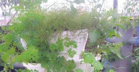 Jual Bibit Bunga Chamomile jual benih tanaman herbs jual benih herbs dan tanaman