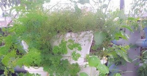 Bibit Bunga Chamomile jual benih tanaman herbs jual benih herbs dan tanaman