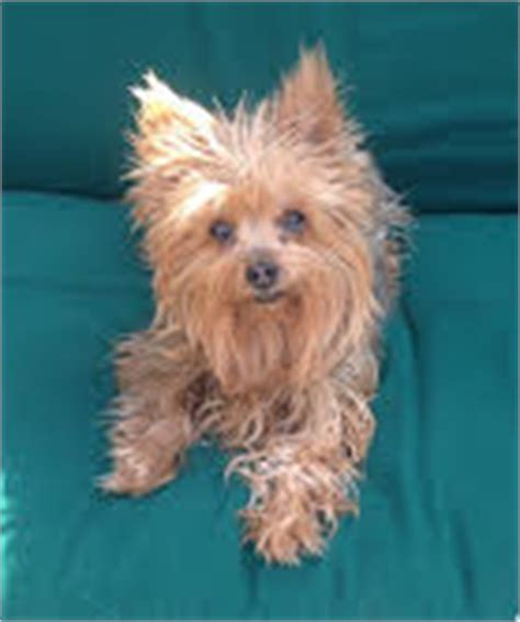 liver disease in yorkies elevated liver enzymes liver disease dogs cats