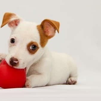 russel alimentazione cuccioli allevamento cuccioli labrador e villa sant