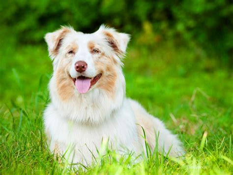fever in dogs hyperthermia in dogs it s not a fever