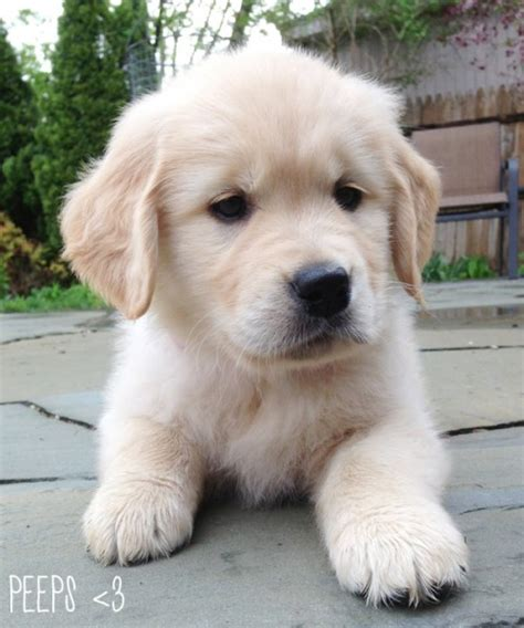 golden retriever newborn baby golden retriever shana logic