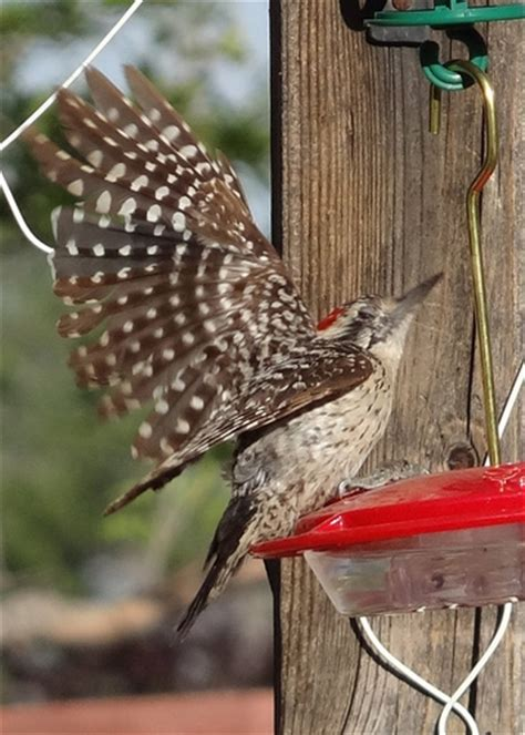 ladderback woodpecker on hummingbird feeder flickr