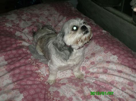 gray and white shih tzu shih tzu grey and white st helens merseyside pets4homes