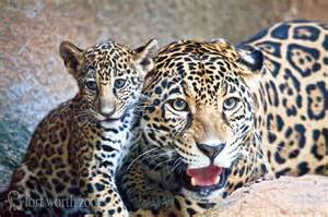 Jaguars Babies Jaguar Cub Bonds With At Fort Worth Zoo Zooborns