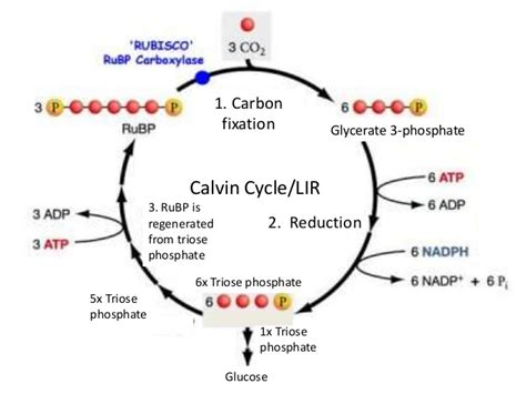 Where Do The Light Independent Reactions Of Photosynthesis Occur by Photosynthesis 6 Light Independent Reaction