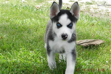 siberian husky puppies for sale in kansas kami s siberian husky puppy for sale near kansas city missouri 132889da b601