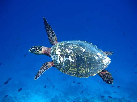 Turtle Sea olive ridley project fighting ghost nets conserving