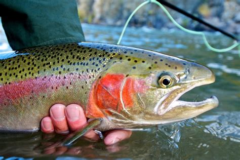 fishing for rainbow trout images