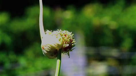 garlic flower garlic flower
