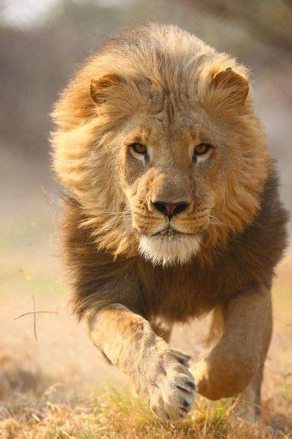 imagenes de leones feroces animales salvajes animalesmascotas
