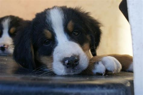 bernese mountain puppies cost photo of bernese mountain puppies jpg hi res 720p hd