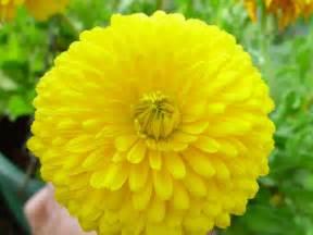 images of flowers file bright yellow azalea flower jpg