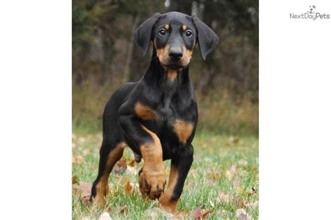 doberman puppies near me available dogs near me pets world