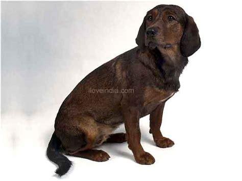 Alpine Dachsbracke Dogs - Alpine Dachsbracke Dog Breed