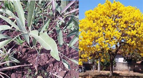 Bibit Tabebuya jual bibit 2 pohon tabebuya aurea bunga kuning untuk