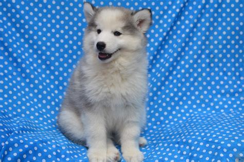 puppies island pomsky