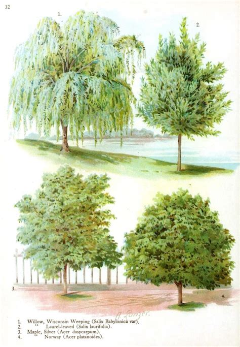 tree types botanical trees leaves vintage printable at