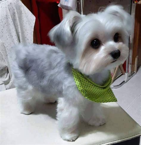 Hair Dryer Untuk Anjing maltese shih tzu www pixshark images galleries with a bite